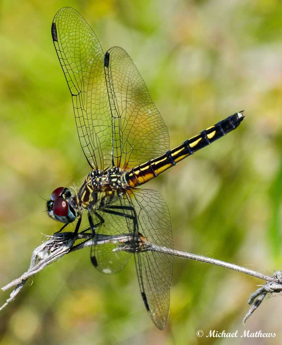 BaskettailDragonFly051016 3