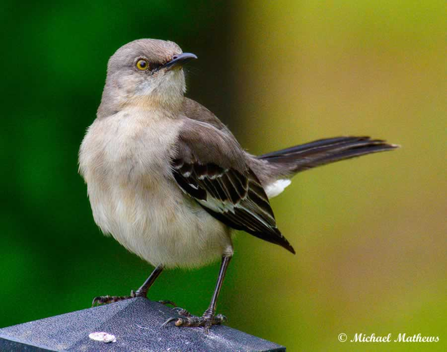 Mockingbird 04 19 16 1