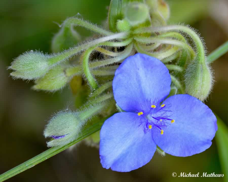 Spiderwort 062316 (1 of 1)