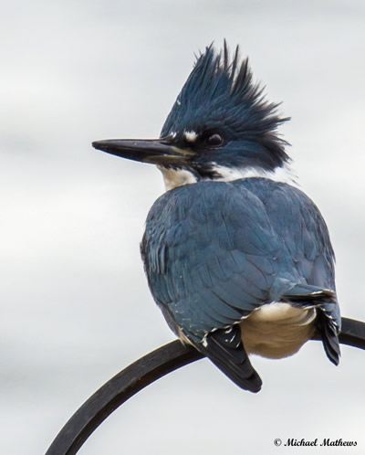 Belted Kingfisher 12 18 16 3