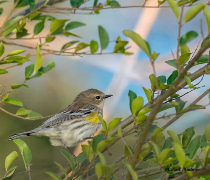 YellowRumpedWarbler030117 2