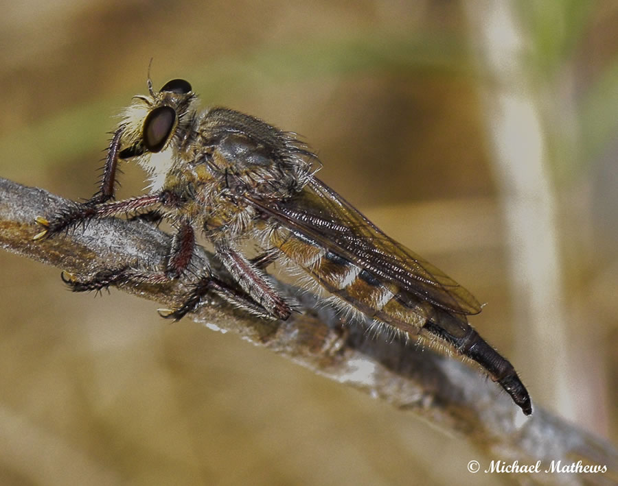 RobberFly061216 (3 of 1)