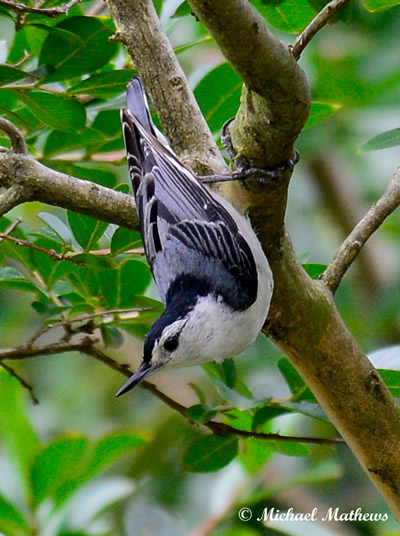 WhiteBrestedNuthatch050816 2