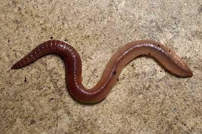 sidewalkworm