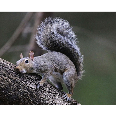 GraySquirrel