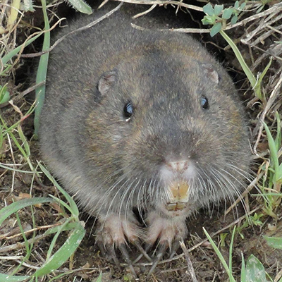 PocketGopher